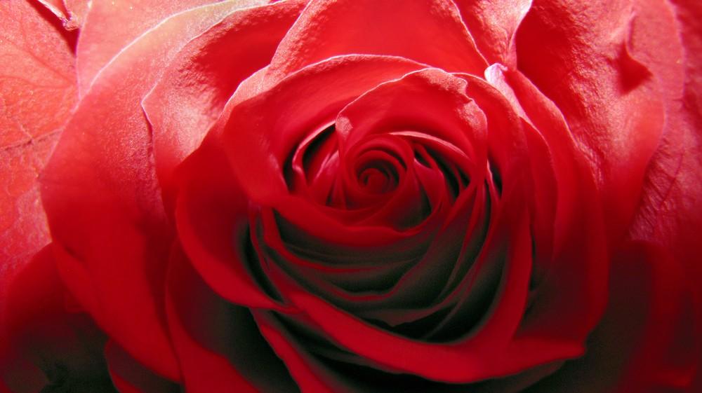 rote rose foto bild pflanzen pilze flechten bl ten kleinpflanzen rosen bilder auf. Black Bedroom Furniture Sets. Home Design Ideas