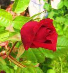 * Rote Rose *