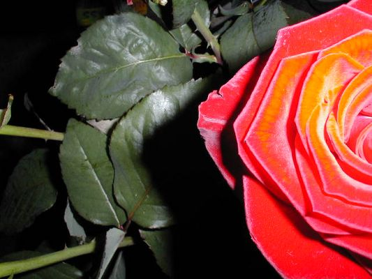 Rote Rose für die Ewigkeit
