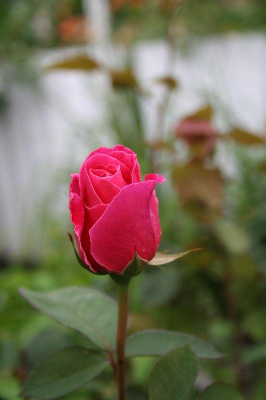 Rote Rose für die große Liebe