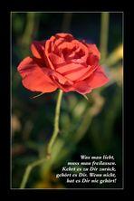 Rote Rose im Abendlicht
