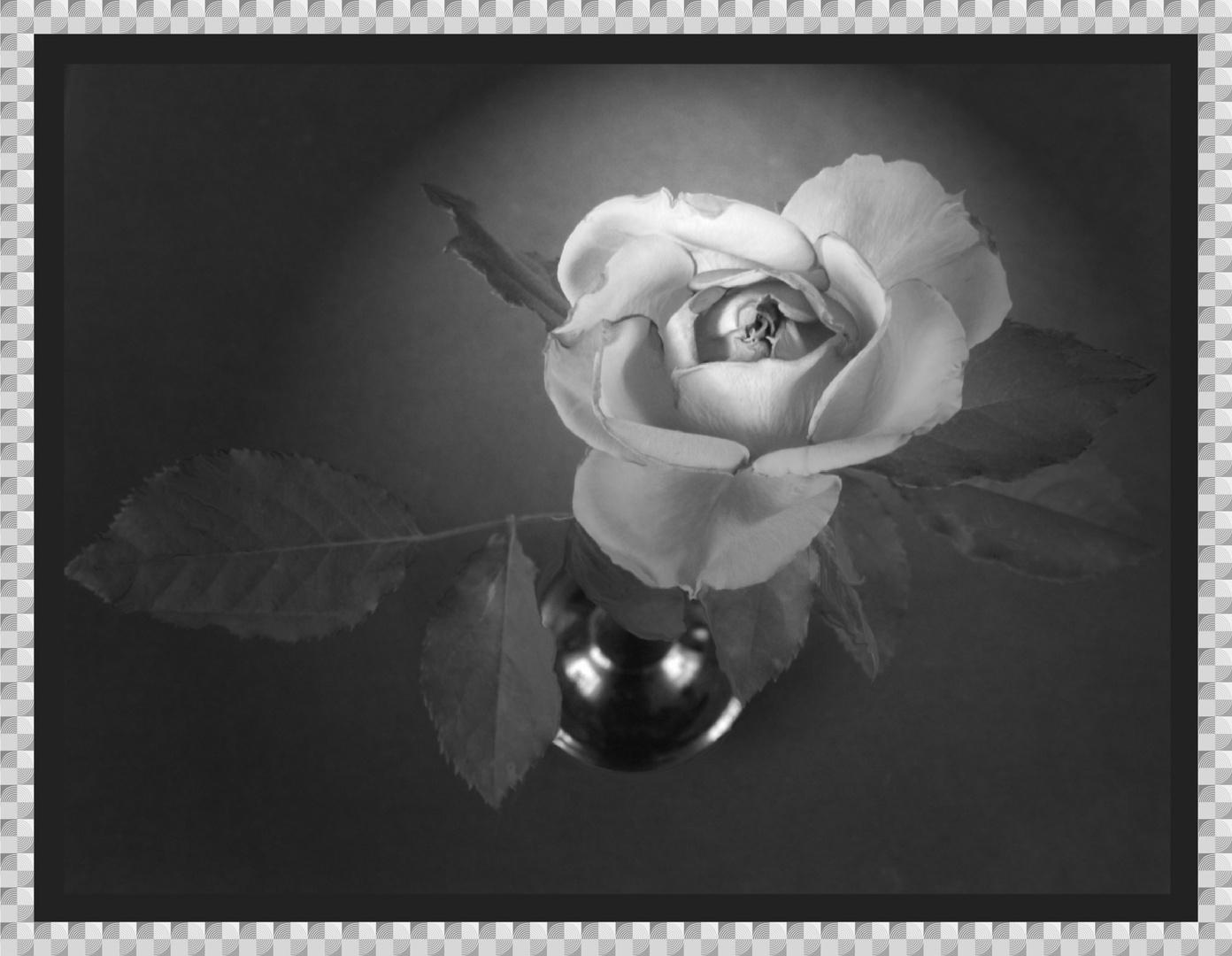 rote Rose im Gegenlicht wurde schwarz weiß