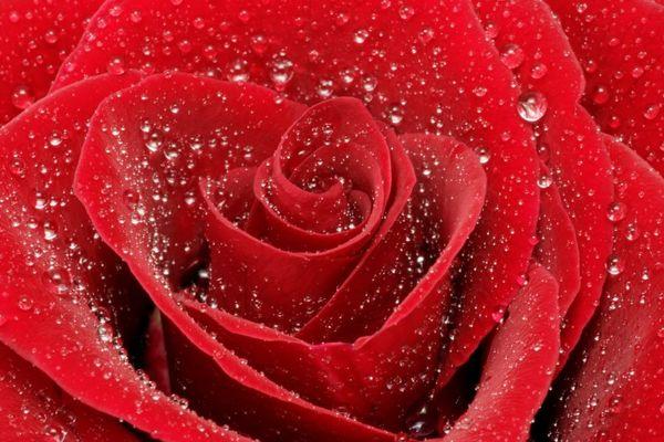 Rote Rose im Morgentau 2
