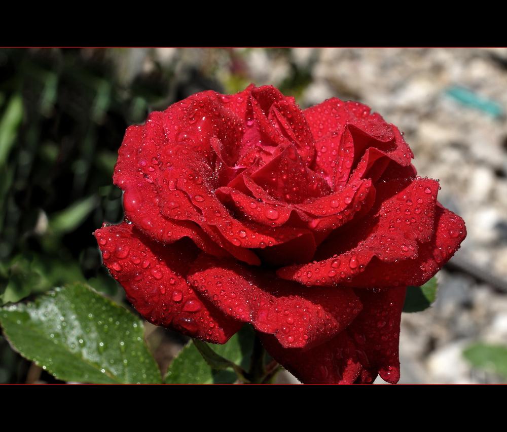 rote rose im morgentau foto bild pflanzen pilze flechten bl ten kleinpflanzen rosen. Black Bedroom Furniture Sets. Home Design Ideas