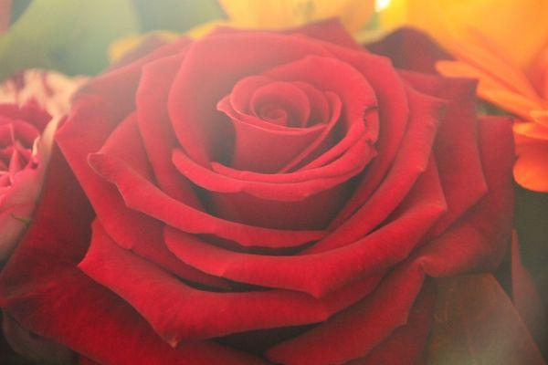 rote Rose im Nebel
