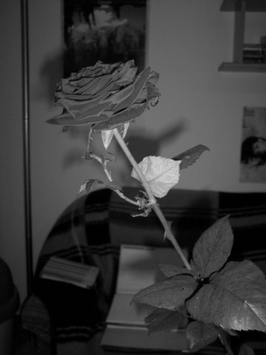 Rote Rose in Schwarz