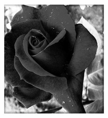 Rote Rose mal anders