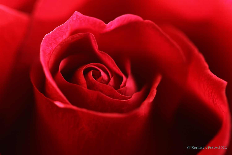 Rote Rose zum Valentinstag 2011