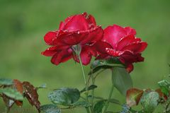 Rote Rosen, dankbare Motive...