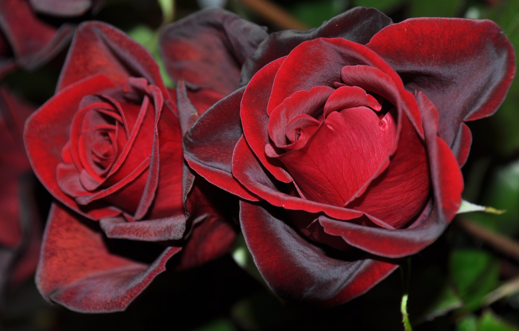 Rote Rosen....