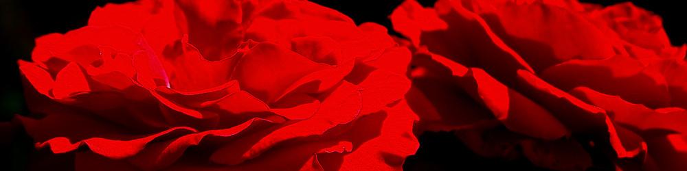 ~ rote Rosen ~