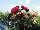 Rote Rosen im Garten 2012