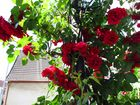 Rote Rosen kann man nie genug haben !