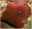 Rote Scheibenanemone