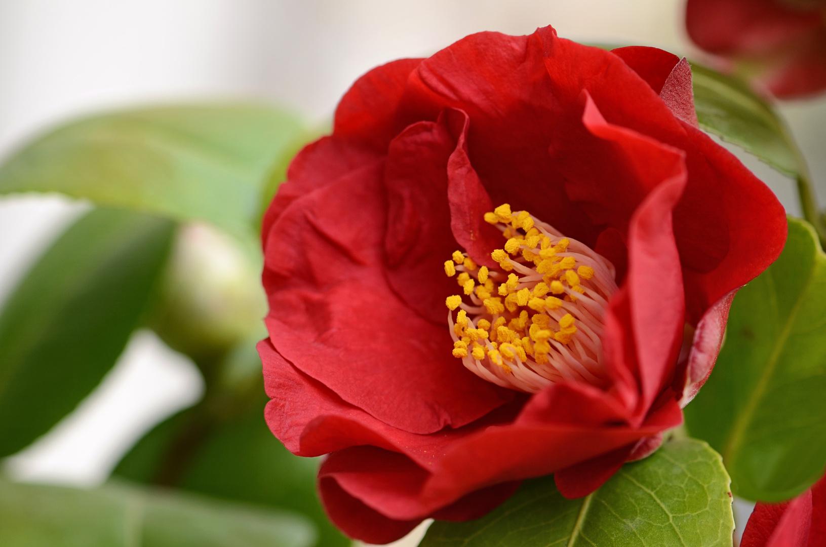 rote Schönheit....