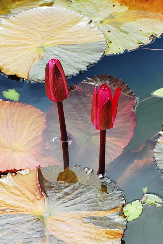 Rote Seerosen von Marcel Burckhardt