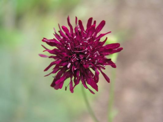 Rote Sommerblume
