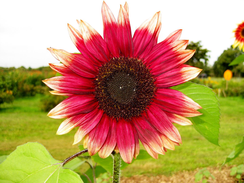 Rote Sonnenblume