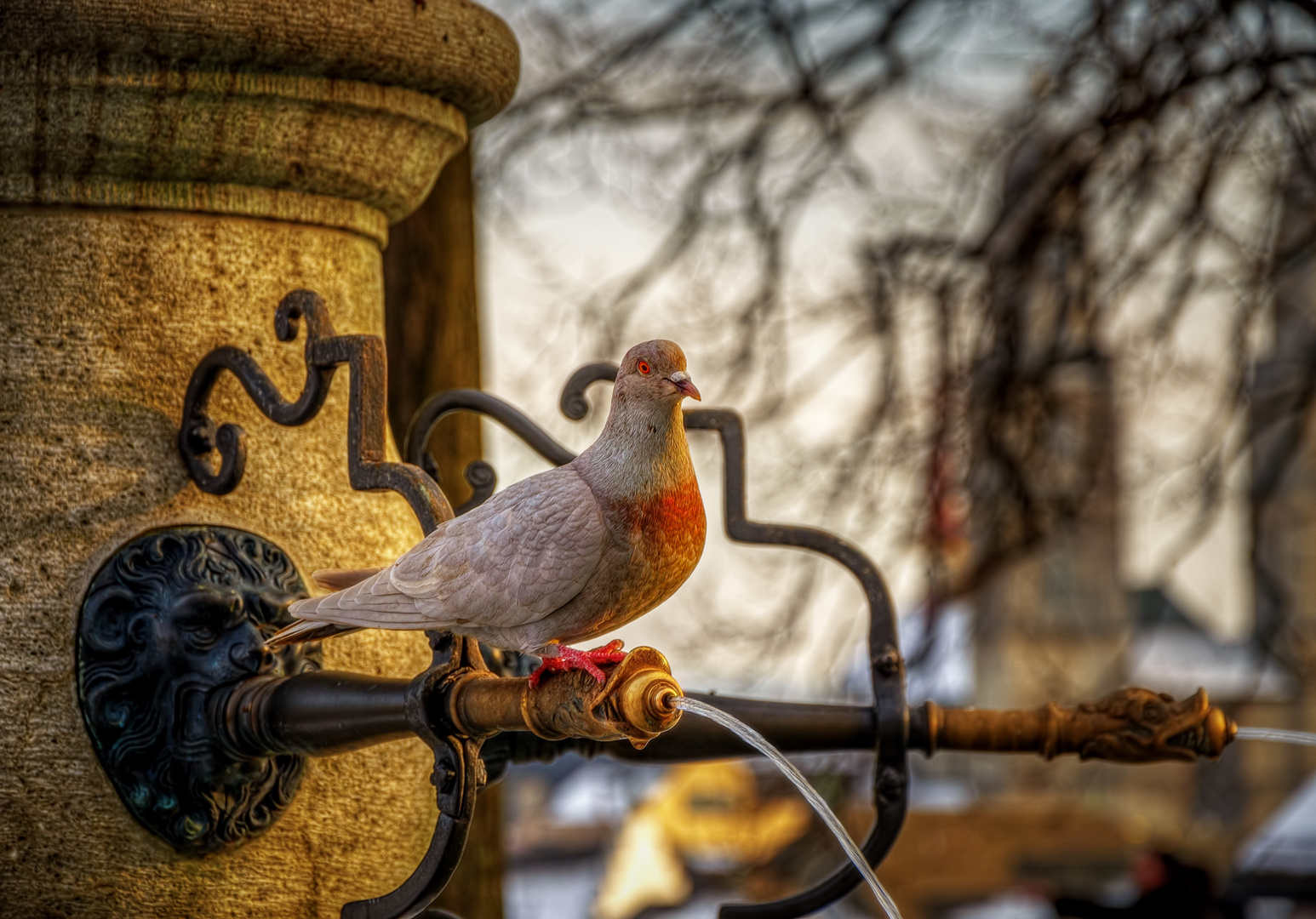 Rote Taube
