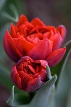 **Rote Tulpe**