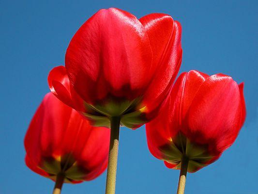 Rote Tulpen 2