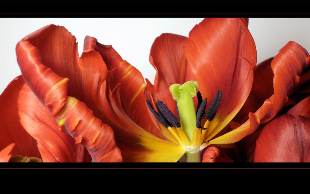 . rote tulpen .
