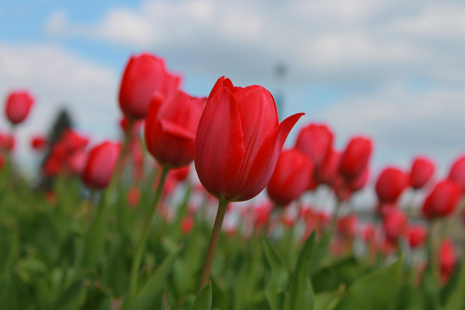 rote tulpen foto bild pflanzen pilze flechten. Black Bedroom Furniture Sets. Home Design Ideas
