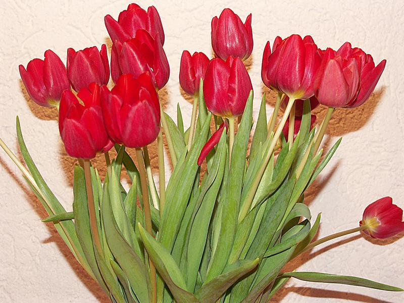 Rote Tulpen mit braunen Schatten