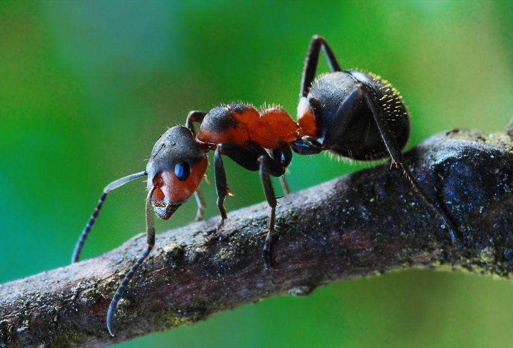 rote waldameise formica rufa foto bild tiere wildlife insekten bilder auf fotocommunity. Black Bedroom Furniture Sets. Home Design Ideas