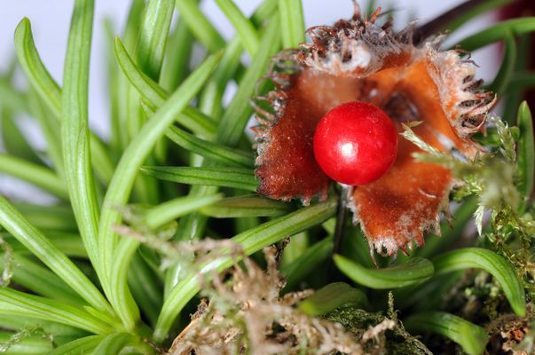 Rote Waldperle