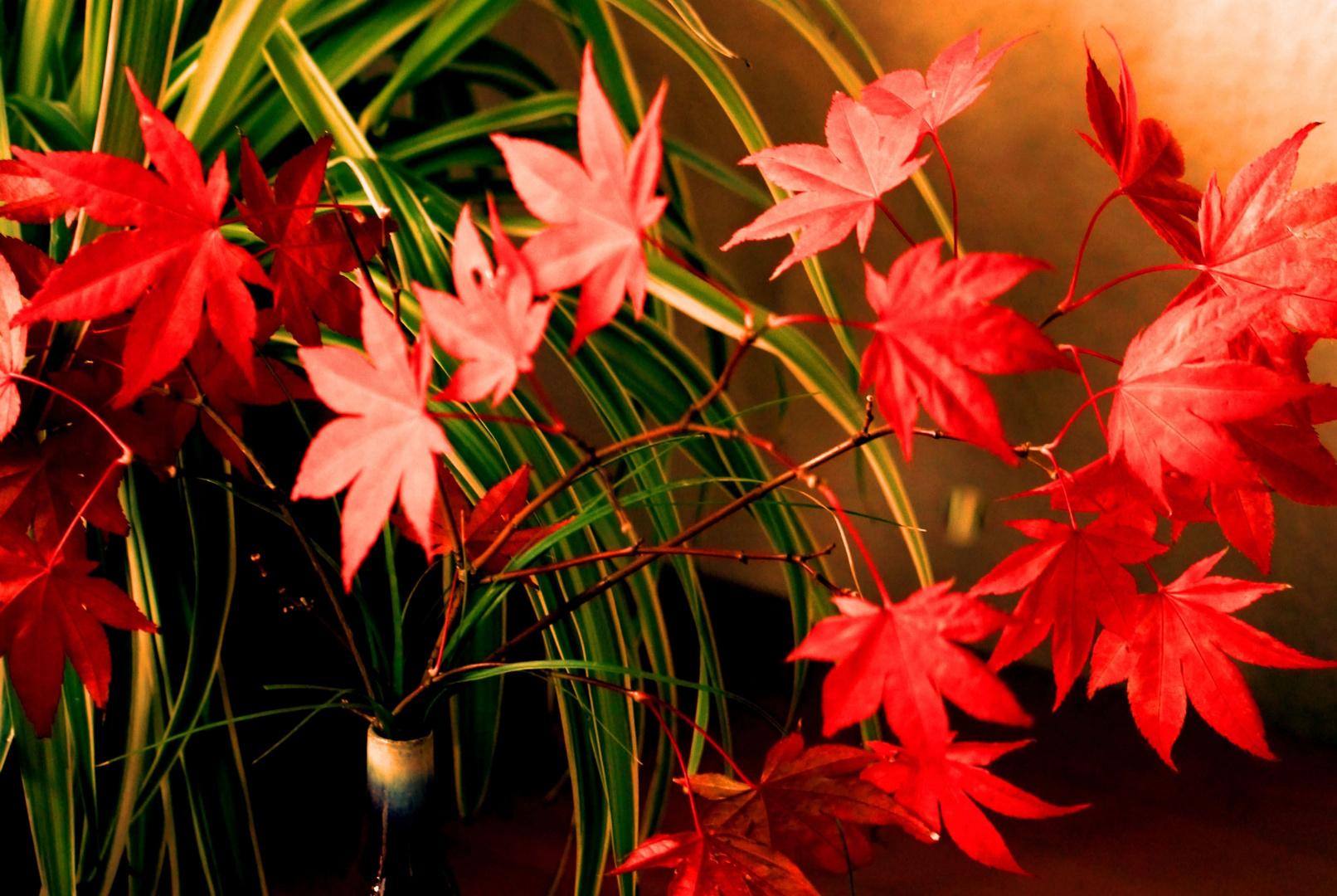 Roter Ahorn als Beiwerk zu meiner Grünlilie.