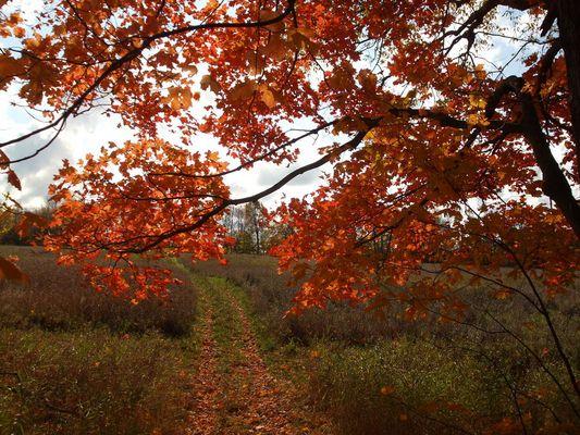 Roter Ahornbaum in Canada