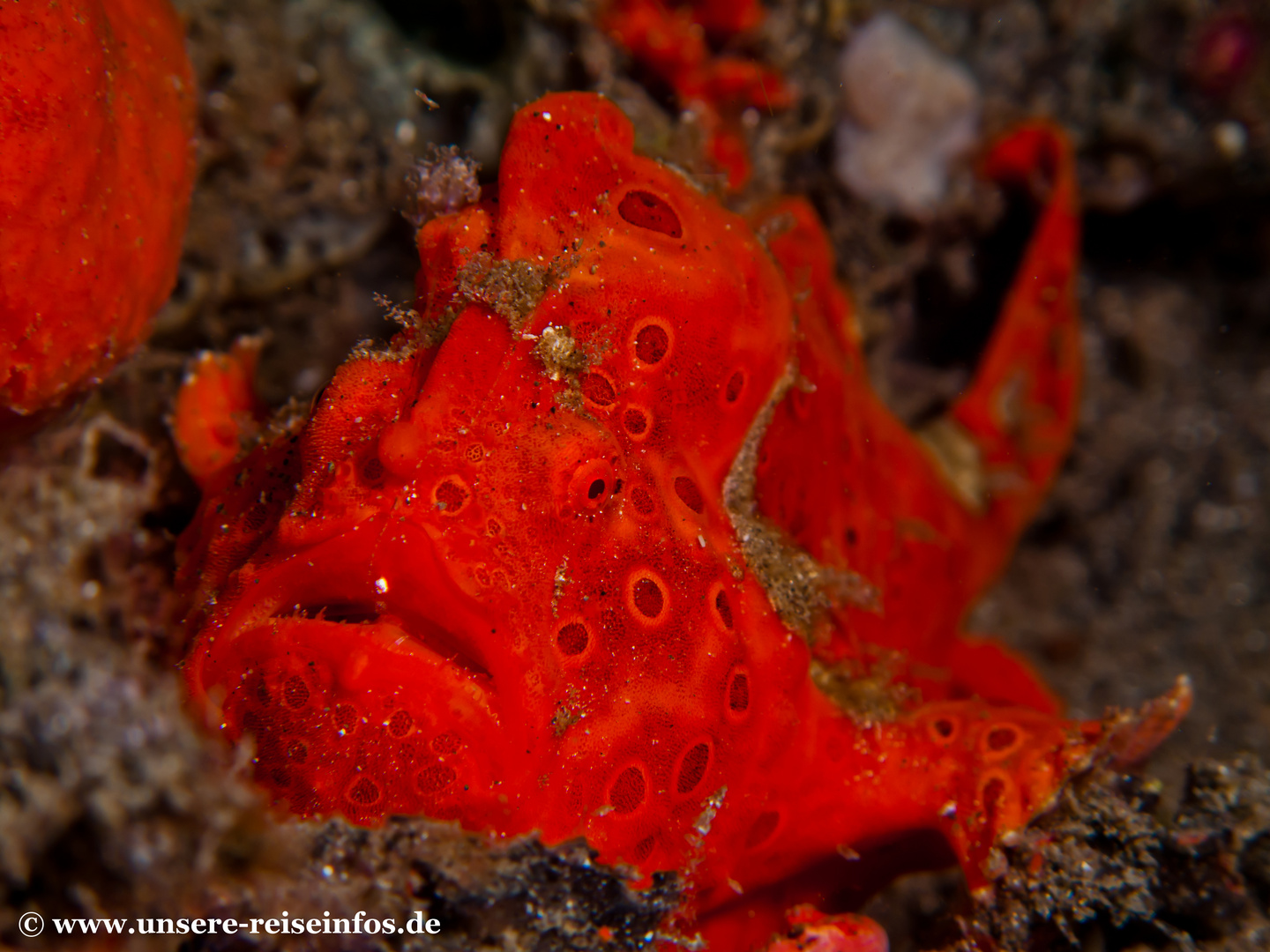 roter Anglerfisch (Frogfish)
