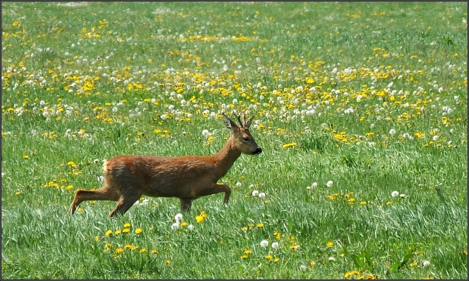 Roter Bock in Blumenwiese