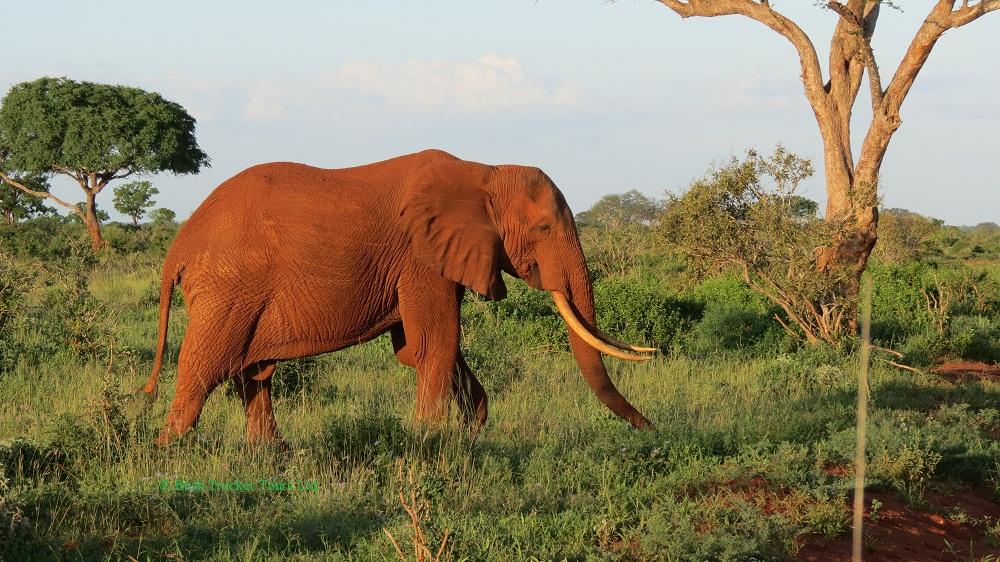 Roter Elefantenbulle