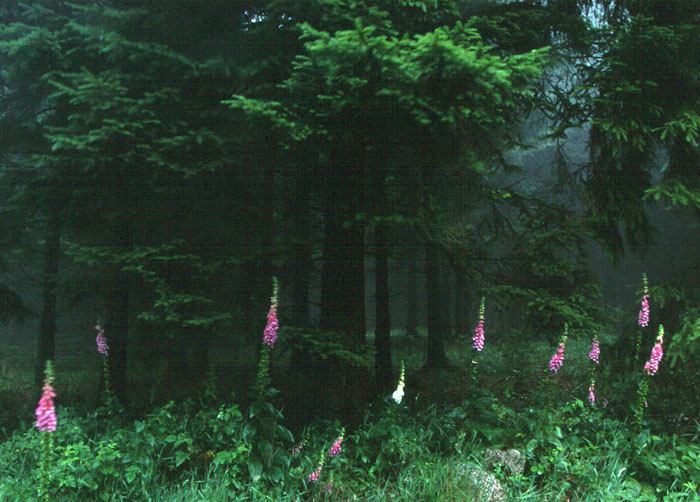 Roter Fingerhut (Digitalis purpurea) im Thüringer  Wald