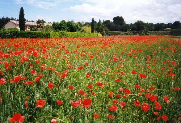 Roter Frühling in der Provence