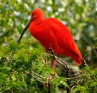 """""""Roter Ibis"""""""