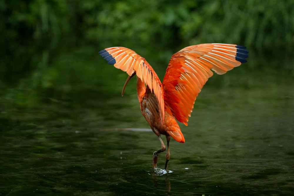 Roter Ibis_2