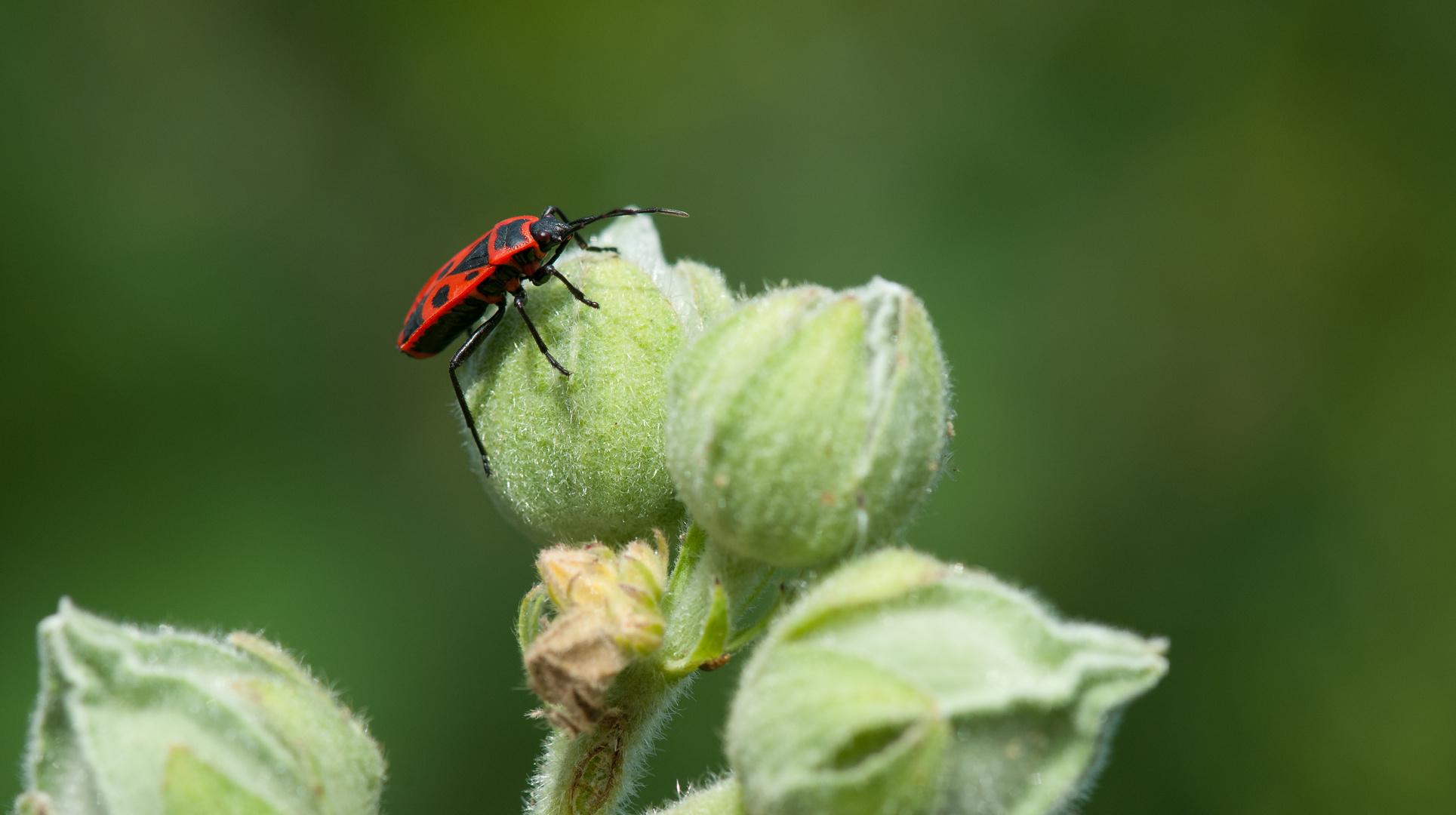 roter Käfer...