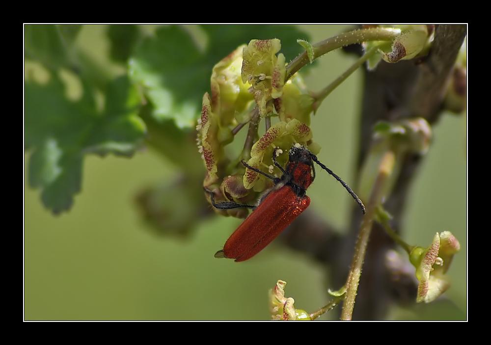 Roter Käfer?