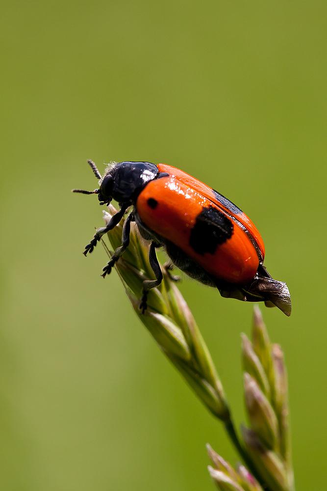 Roter Käfer...*Ameisen-Sackkäfer)