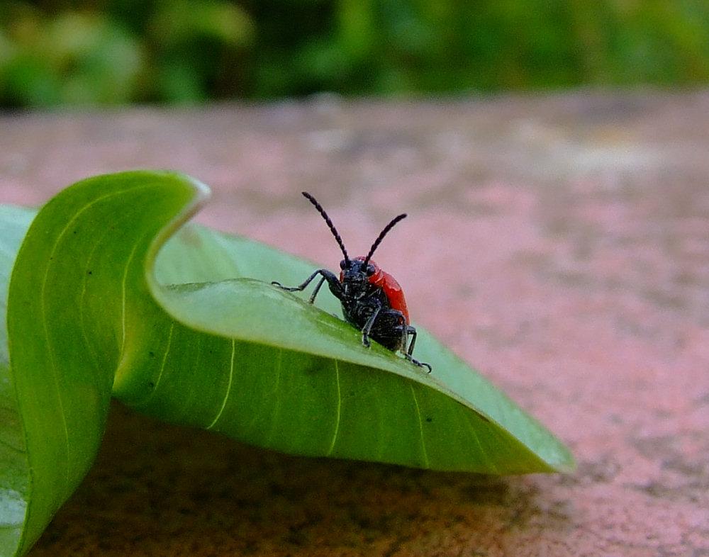 Roter kleiner Käfer