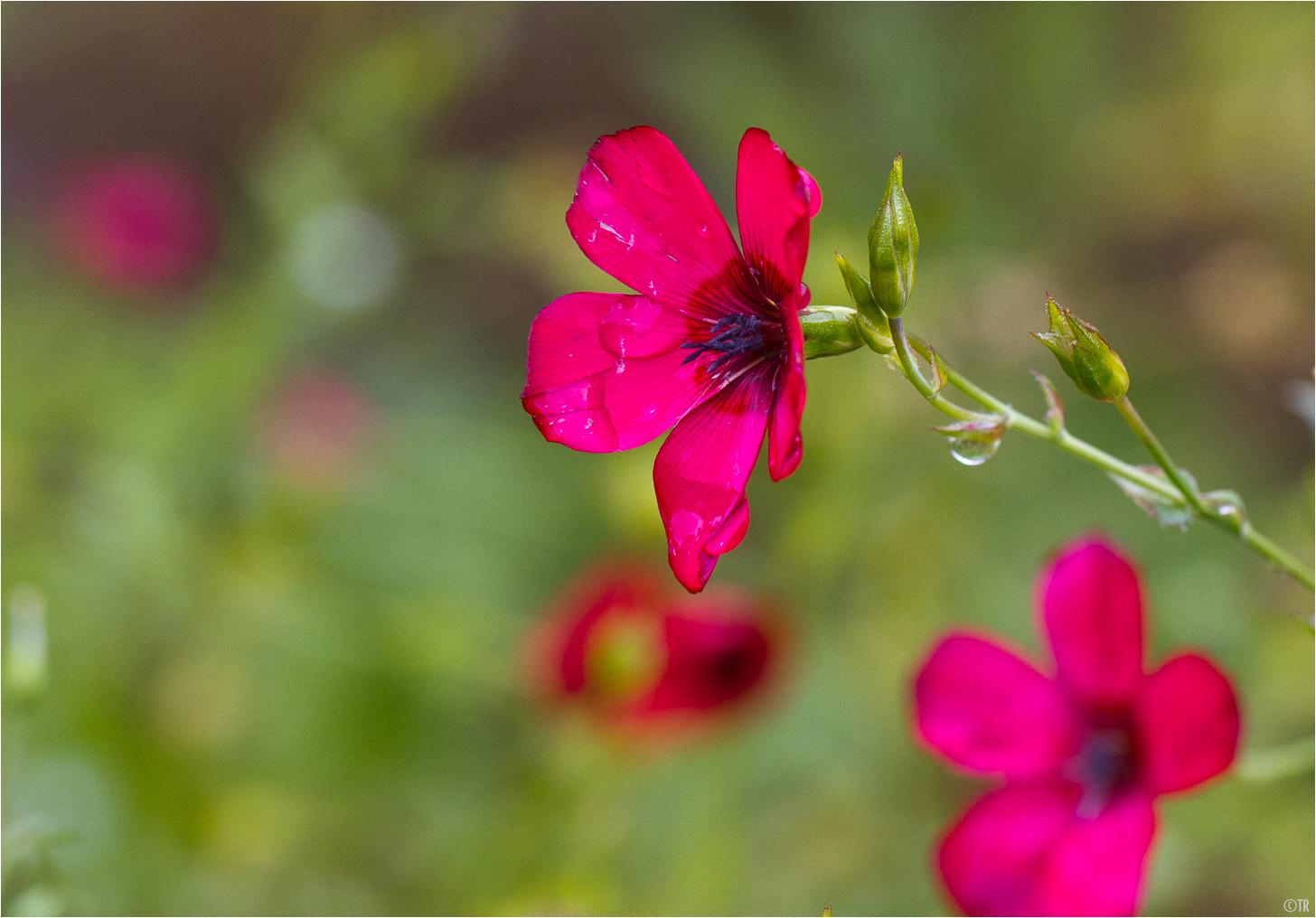 Roter Lein (Linum grandiflorum)..