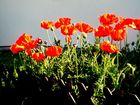 Roter Mohn 1a