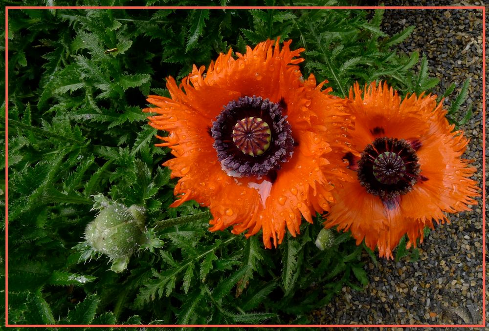 Roter Mohn von wfl