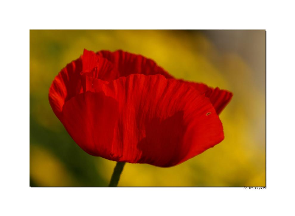 Roter Mohn vor sonnigem Gelb