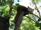 Roter Panda aus Budapest