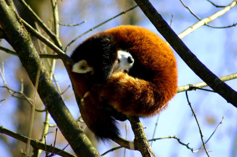 Roter Panda beim Sonnenbad