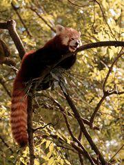 Roter Panda (II)